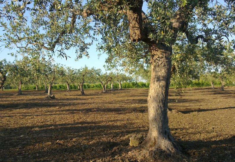 Erano malati per il comune  e andavano a raccogliere olive