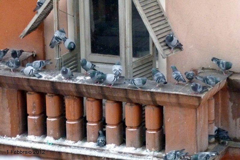 Piccioni nelle aree urbane: infestazioni in crescita in Italia, il Nord Ovest la zona più sensibile