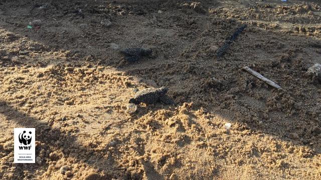 Le tartarughe Caretta caretta conquistano la Sicilia